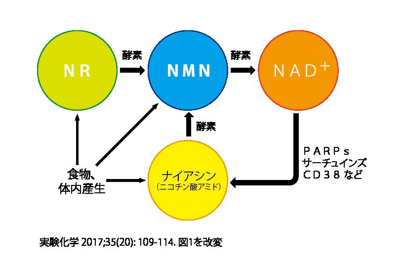ヌクレオチド モノ ニコチン アミド